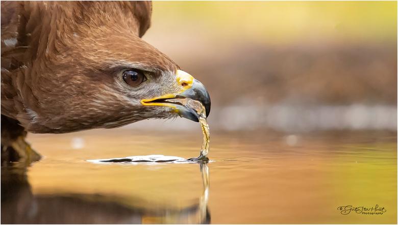 Buizerd drinkt  - In de droge periode afgelopen zomer kwamen ook buizerds bij de waterpoelen van de fotohutten om te drinken. Wanneer ze op een paar m