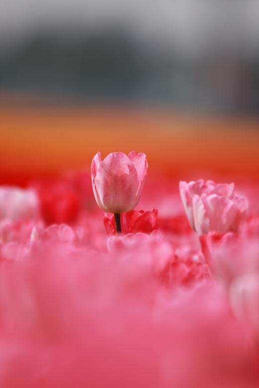 tulp in de zon  - tulp in de zon een prachtige roze tulp die aan het bloeien is in de lente zon
