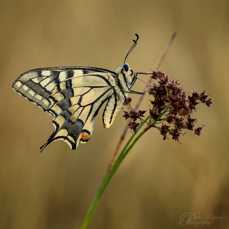 The Queen - Toch wel één van de mooiste soorten in NL<br /> <br /> Gr<br /> <br /> Peter