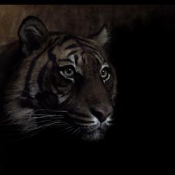 low key tiger
