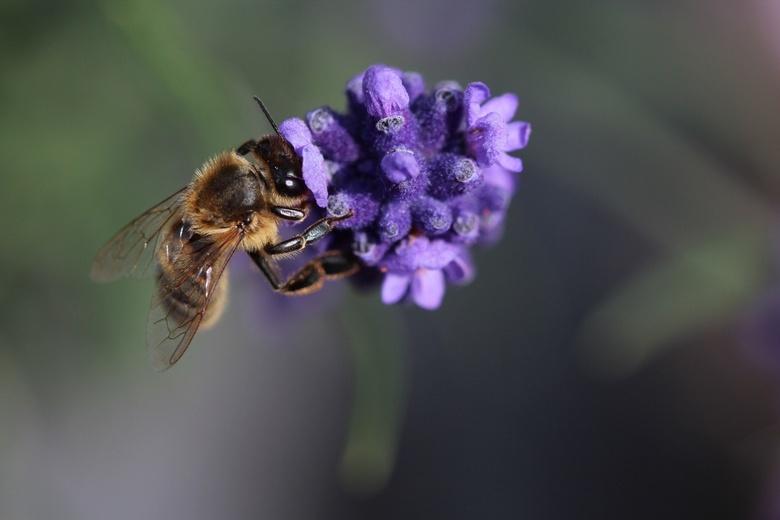 Een paarse zomer - Hoe mooi kan een bij in de lavendel zijn.