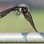 Zwaluw van voren