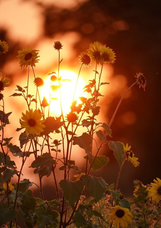 Zonnebloem met de ondergaande zon - Een mooi veld met zonnebloemen met ondergaande zon die gezaaid zijn op een oud voetbal veld