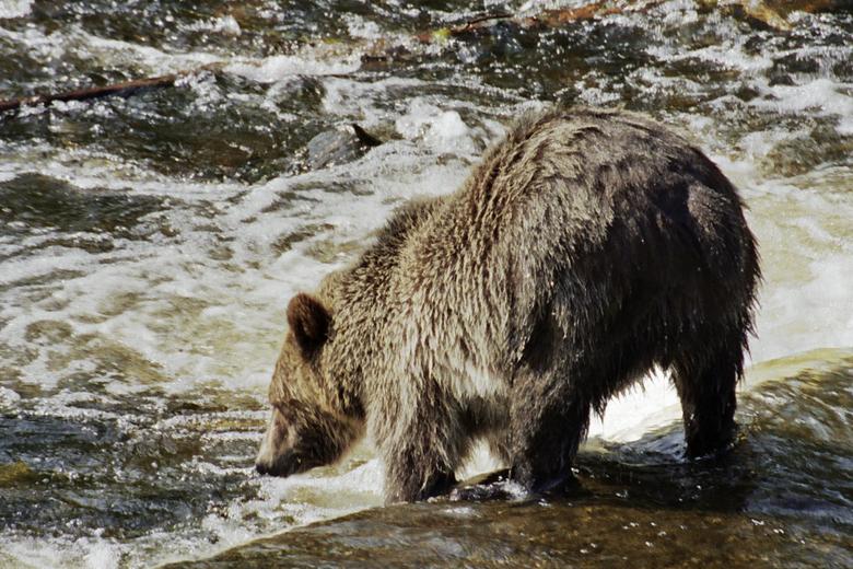 Vissende grizzly - Oktober in Canada. De beren zijn zich helemaal vol aan het eten met zalm, ter voorbereiding op de winterslaap.