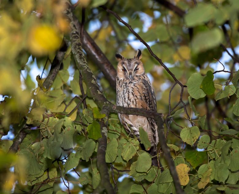 Uil - Kon deze Uil mooi fotograferen in een open plek in de boom.