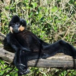 Witwang Gibbon