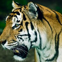 tijger eye