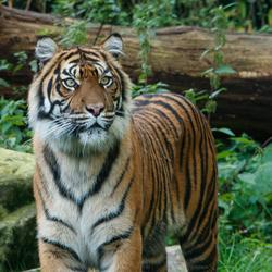 Sumatraanse tijger in Burgers' Zoo