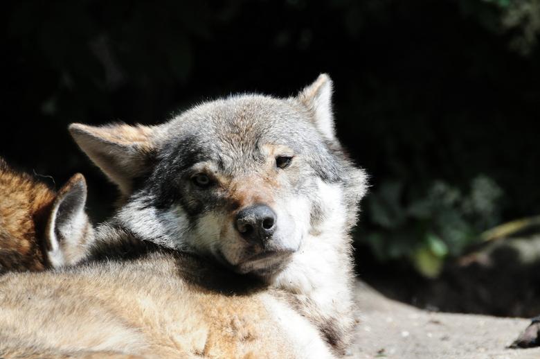 Wolf II - Een van de wolven in Blijdorp, Rotterdam.
