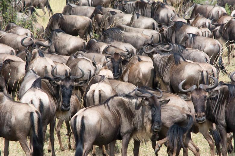 Afrika, kudde gnoes -