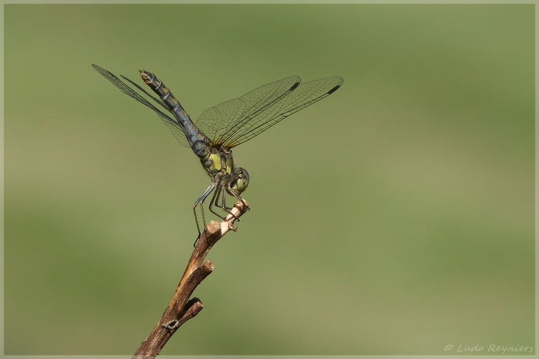 Heidelibel -
