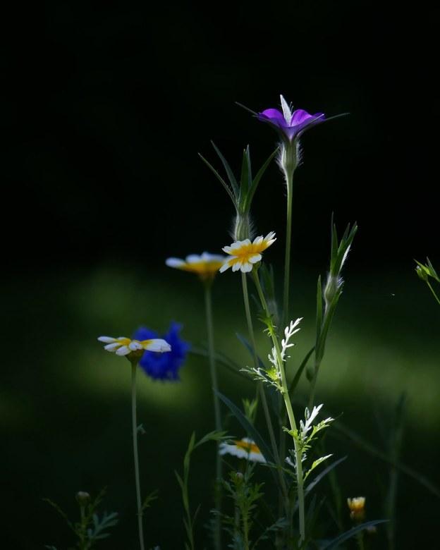 Wildebloemen  -