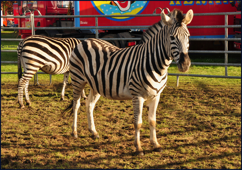 Circus Zebra zebra van circus dieren foto van boddeus e-l zoom.nl Circus