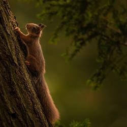 Eekhoorn in het bos