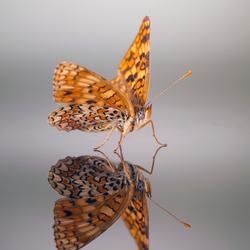 Knoopkruidparelmoervlinder ( Melitaea phoebe )