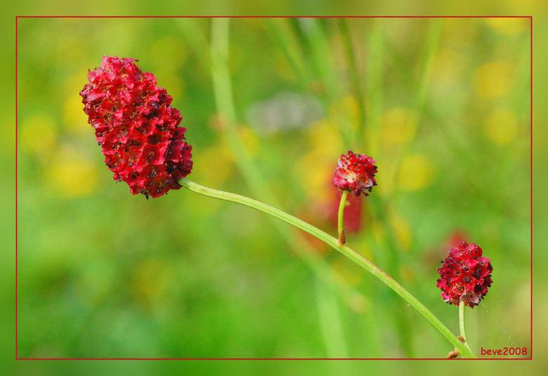 bloem grote pimpernel
