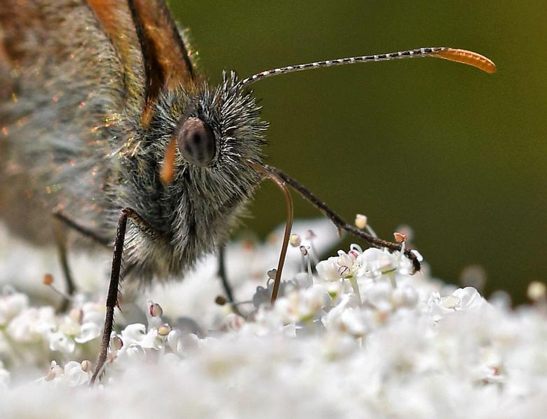 kleintje - Het oranje zandoogje, het bruin zandoogje en het hooibeestje zijn best lastig uit elkaar te houden als zij met opgeklapte vleugels zitten.