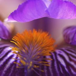 Iris Lila 2