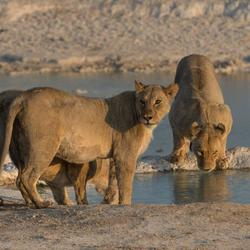 leeuwen tijdens zonsondergang in Namibië