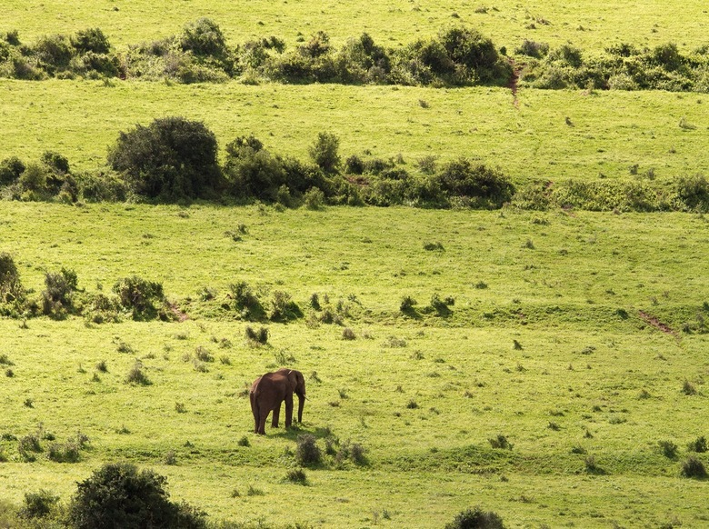 Eenzame olifant in Addo - Deze eenzame olifant liep rustig over de groene vlakten van het Addo Nationaal park in Zuid-Afrika.