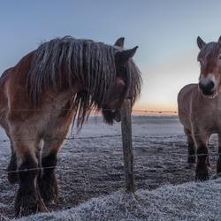 Paarden in een koude ochtend