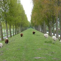 schapen staan weer buiten