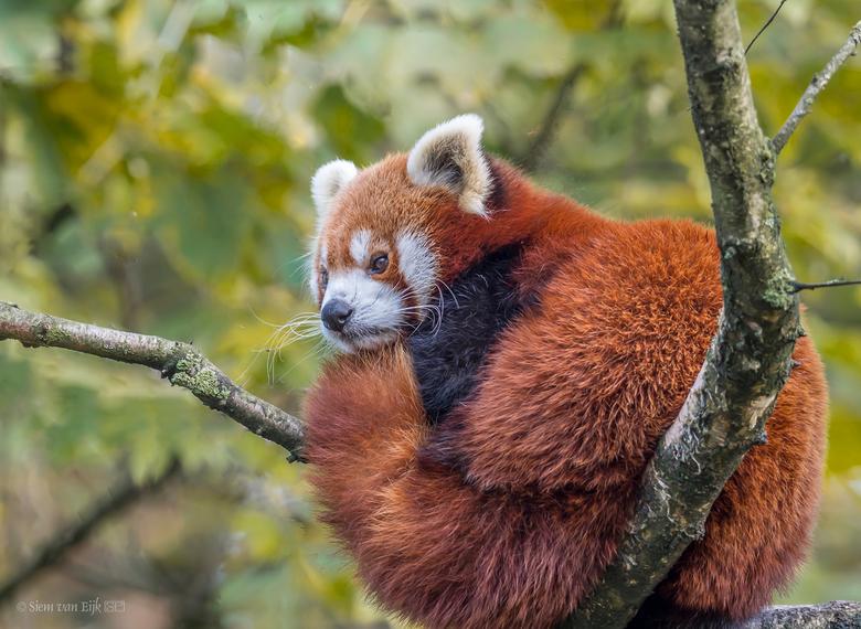 Rode panda - Rode panda