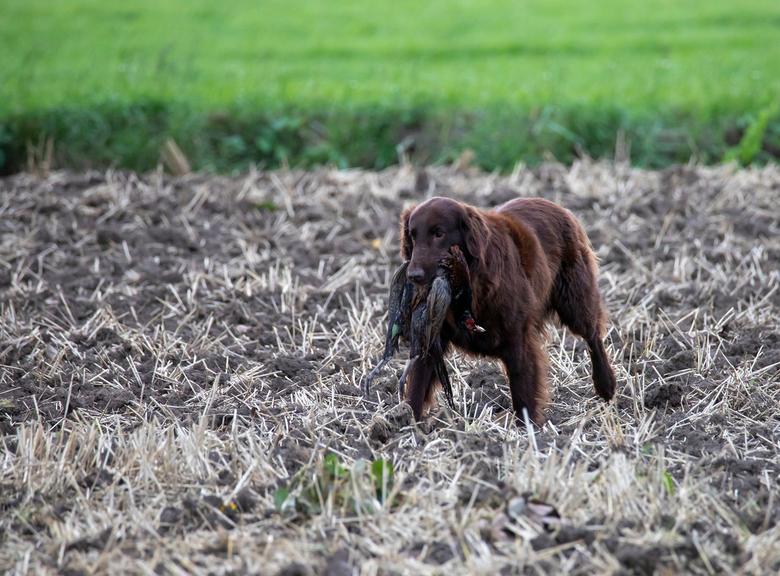 Hond in training - Trainen met dode dieren