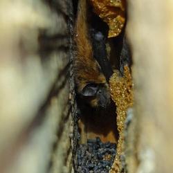 Mini Vleermuis