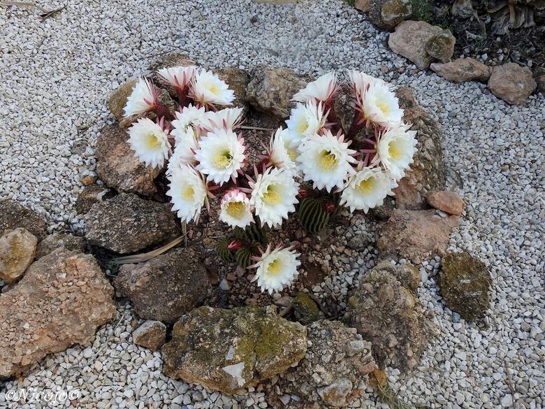 """Cactus in bloei....... - Bosje bloemen in bloei.....<img  src=""""/images/smileys/tongue.png""""/><br /> <br /> Bedankt voor al jullie reacties op mijn vo"""