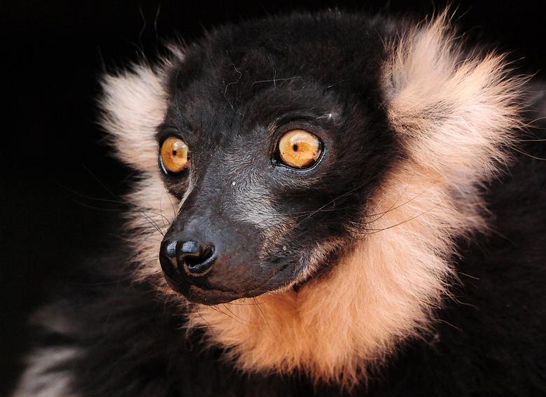 Lemuur - Een Black-and-White Ruffed Lemur (ik weet de nederlandse naam niet) in de prachtige zoo 'Pairi Daiza' in België.