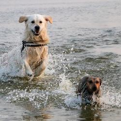 Honden in het IJsselmeer