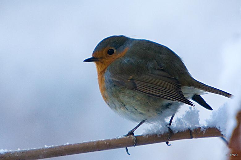 Roodborstje - weer sneeuw, denkt dit roodborstje.<br /> <br /> op een bewolkt moment, van achter dubbelglas, ...<br /> <br /> Een goede zondag gew
