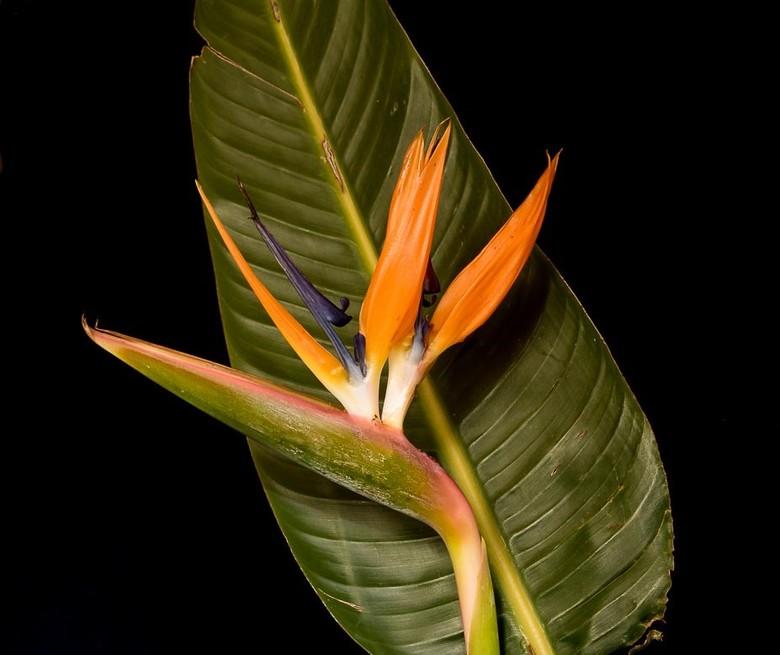 papegaai bloem -