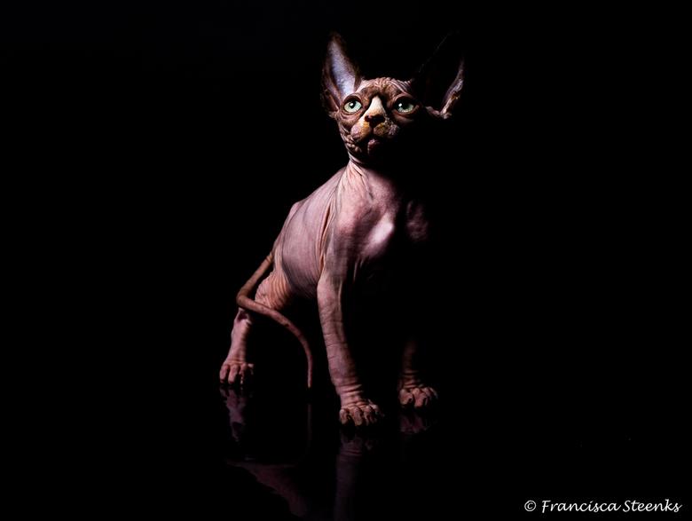 Sphynx_kitten - Sphynx kitten gefotografeerd met 1 studioflitser (Elinchrome RX 4) met een spiegeling in de ondergrond.