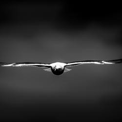 Low-Key Gull