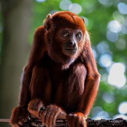 Monkey Big eyes