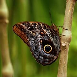 Blue Morpho vlinder.JPG