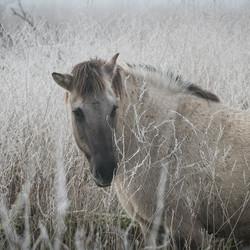 Konig paard 2