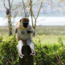 Vervet Monkey in Lake Nakuru Kenia