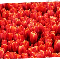 rode tulpen 6605