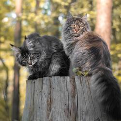 De boskatten