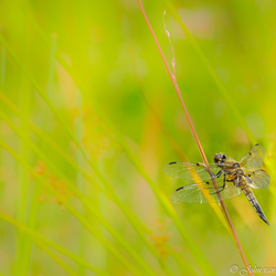 Viervlek libel Libellula quadrimaculata