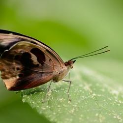 Macro Vlinder