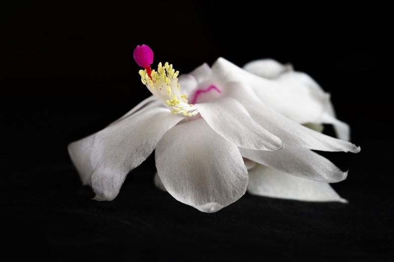 bruidskleed van de lidcactus - bloem van de lidcactus .<br /> 23-11-2020.