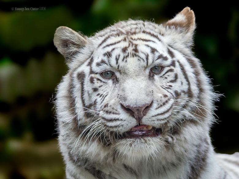 White Tiger - White Tiger
