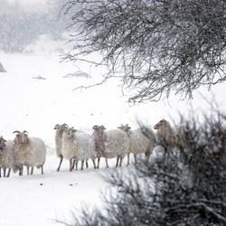 Schapen in sneeuwbui