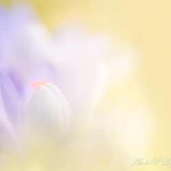 Soft focus crocus