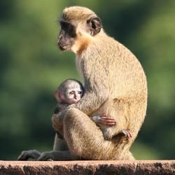 Jong aapje met moeder
