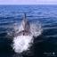 Dolfijn voor de boot uit